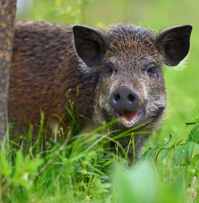 Das Wildschwein schaut hinter einem Baum im Wald hervor