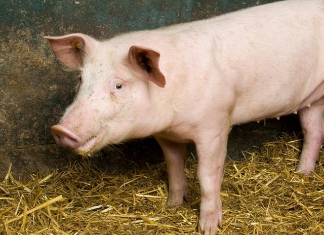 Deutsches Schwein