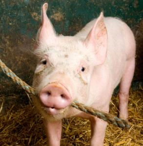 Das Hausschwein frisst Stroh im Schweinestall